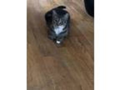 Adopt MELANY a Tiger Striped Domestic Shorthair / Mixed cat in Brooklyn
