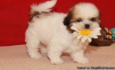 Adorable Shih tzu Babies