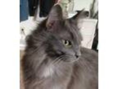 Adopt Sudie a Gray or Blue Domestic Longhair / Domestic Shorthair / Mixed cat in