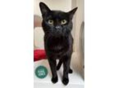 Adopt James Purrl Jones a Manx