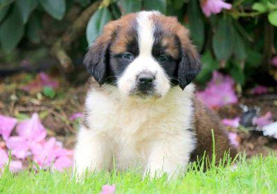 Saint Bernard PUPPY FOR SALE ADN-79258 - Saint Bernard Puppy for Sale