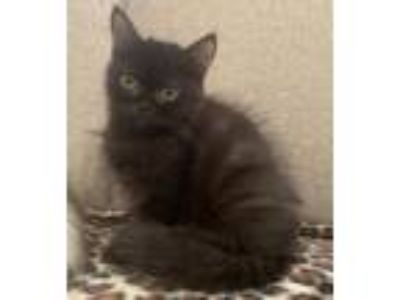 Adopt MIRA a British Shorthair, Persian