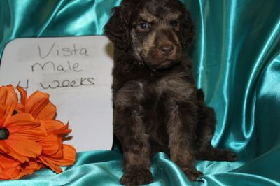 Poodle (Standard) PUPPY FOR SALE ADN-74701 - Male Standard Poodle Champion Bred