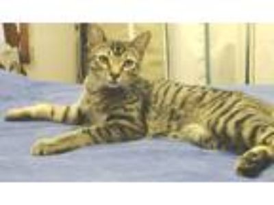 Adopt Tony a Brown Tabby Domestic Shorthair (short coat) cat in Upper Darby