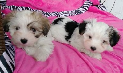 Morkie PUPPY FOR SALE ADN-104914 - Morkie sister puppies Maltese Yorki Mix