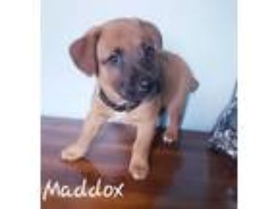 Adopt Maddox a Miniature Pinscher, Black Mouth Cur