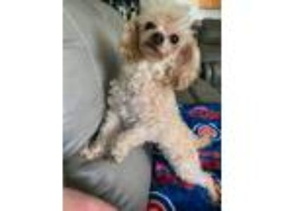 Adopt Little Bo Peep a Tan/Yellow/Fawn Toy Poodle / Mixed dog in Streamwood