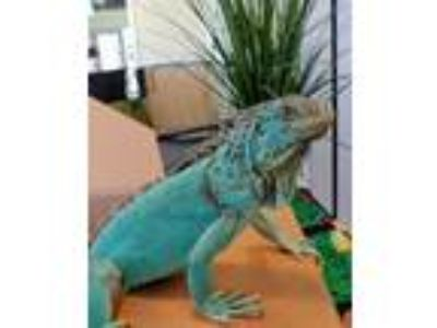 Adopt Sapphire a Lizard reptile, amphibian, and/or fish in Burlingame