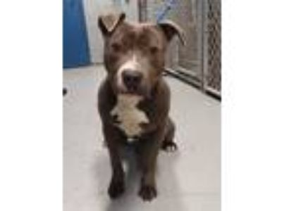 Adopt Marley a Gray/Silver/Salt & Pepper - with White American Pit Bull Terrier