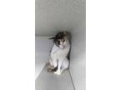 Adopt ANGEL a Calico or Dilute Calico Domestic Shorthair / Mixed (short coat)