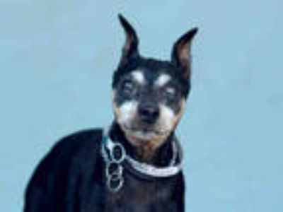 Adopt ROBBIE a Black - with Tan, Yellow or Fawn Miniature Pinscher / Mixed dog