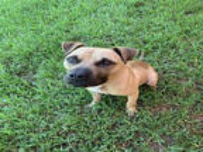 Adopt POLO a Brown/Chocolate - with White American Pit Bull Terrier / Mixed dog
