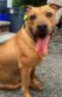 Sandman *URGT* IMMED FOSTER HOME NEEDED American Staffordshire Terrier - Yellow Labrador Retriever Dog