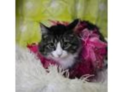 Adopt Tricycle a Domestic Medium Hair