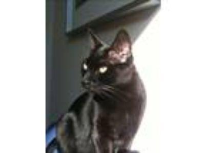 Adopt Kamikaze a All Black Domestic Shorthair cat in Miramar, FL (24777289)