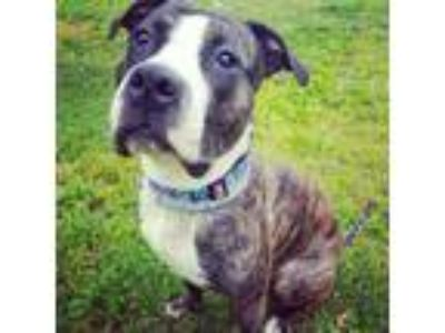 Adopt Heart a Boxer, Pit Bull Terrier