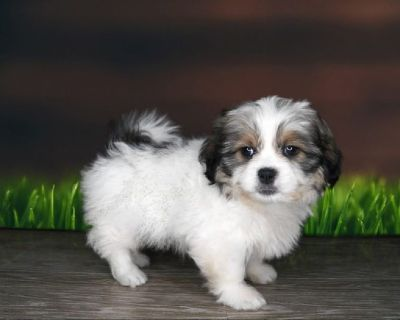 Buster is a papered 11 week old male Shih Tzu!