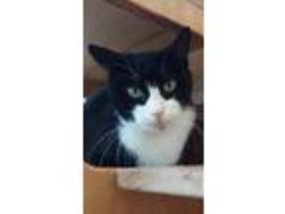 Adopt Bootsy a Black & White or Tuxedo Domestic Shorthair / Mixed (short coat)