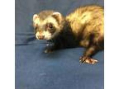 Adopt Rachel a Black Ferret / Ferret / Mixed small animal in Tampa