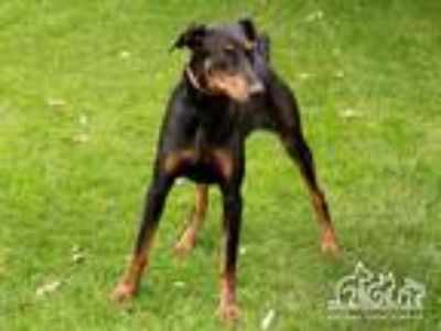 Adopt ZEUS a Black Doberman Pinscher / Mixed dog in Irvine, CA (25277737)