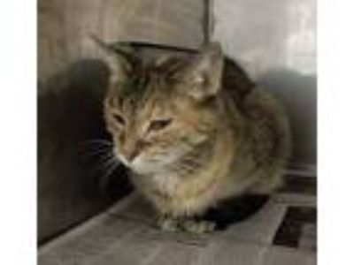 Adopt Baby Dot a Domestic Shorthair / Mixed cat in Canon City, CO (22855927)