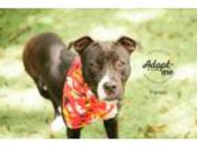 Adopt Panda a Black American Pit Bull Terrier / Mixed dog in Kansas City