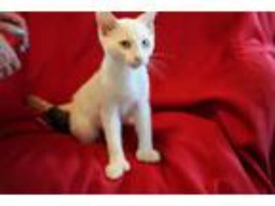 Adopt Robert Redford a Cream or Ivory (Mostly) Siamese (short coat) cat in