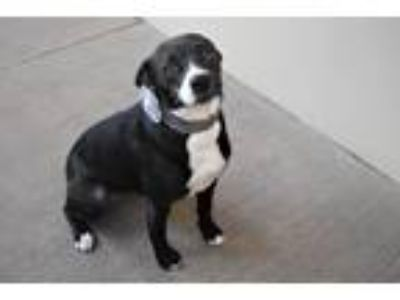 Adopt Karen a Black - with White Border Collie / Terrier (Unknown Type