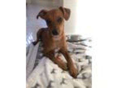 Adopt Milo Rico a Tan/Yellow/Fawn Rat Terrier / Whippet / Mixed dog in Fort