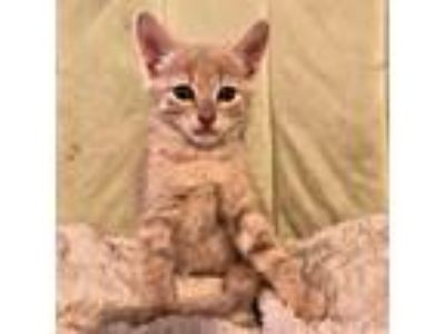 Adopt George a Orange or Red Domestic Shorthair / Mixed (short coat) cat in