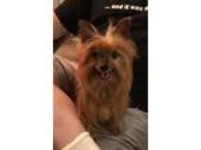 Adopt Sassy a Yorkshire Terrier