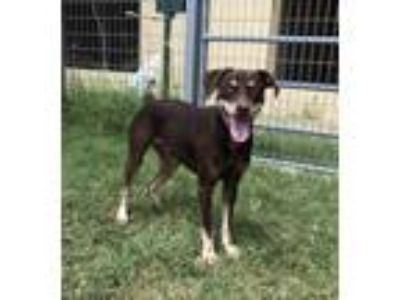Adopt Chocolate a Rottweiler / Doberman Pinscher / Mixed dog in New Braunfels