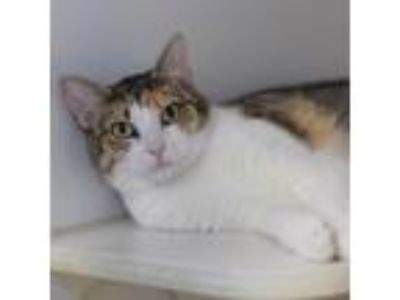 Adopt Naomi a Brown or Chocolate Domestic Shorthair / Domestic Shorthair / Mixed