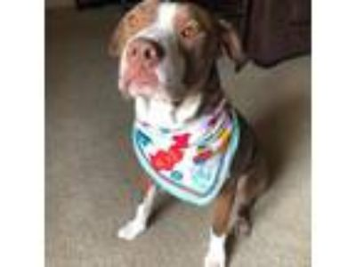 Adopt Steve a Brown/Chocolate American Pit Bull Terrier / American Staffordshire