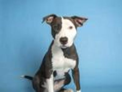 Adopt ADELAIDE a Black - with White Bull Terrier / Mixed dog in Phoenix