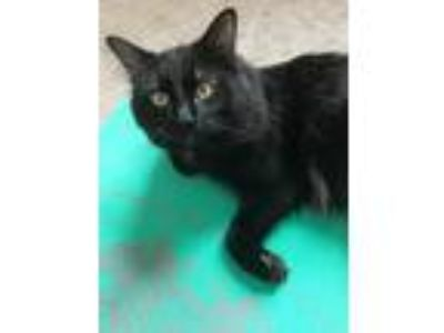 Adopt Tupac a All Black Maine Coon / Mixed cat in Algonquin, IL (24564197)