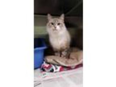 Adopt Artemis a Tan or Fawn Himalayan / Domestic Shorthair / Mixed cat in Tinley
