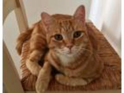 Adopt Annie a Orange or Red Tabby Domestic Shorthair (short coat) cat in Los