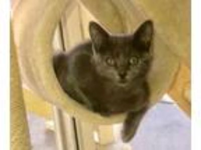 Adopt Isobel the Russian Blue Mix Kitten a Russian Blue, Domestic Short Hair