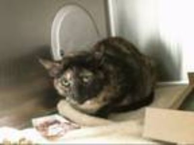Adopt TROUBLE a Domestic Short Hair