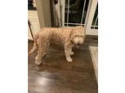 Adopt Beau a Brown/Chocolate Goldendoodle dog in West Babylon, NY (25271305)