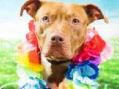 Adopt SAGE a American Staffordshire Terrier, Mixed Breed