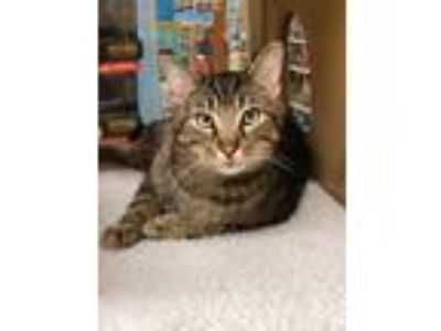 Adopt Gibbs a Brown Tabby Domestic Shorthair (short coat) cat in Glen Mills