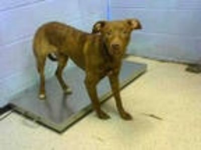 Adopt BUCK a Brindle - with White Labrador Retriever / Mixed dog in Atlanta