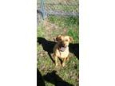Adopt MINNIE a Labrador Retriever