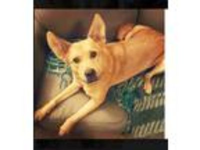 Adopt Annie a Tan/Yellow/Fawn - with White German Shepherd Dog / Golden