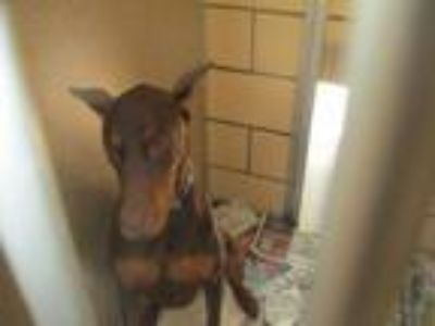 Adopt Rocco a Doberman Pinscher / Mixed dog in Homer Glen, IL (25854503)