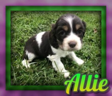 Allie Female Cocker Spaniel ACA