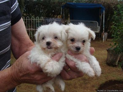 Adorable, Cute & Tiny Maltese Puppies for sale.