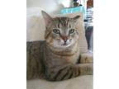 Adopt Franklin a Tiger Striped Domestic Shorthair (short coat) cat in E.
